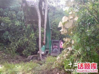 传辽宁新宾县修路挖出大蟒蛇精事件:神奇大蛇龄140年,蛇身16.7米长.